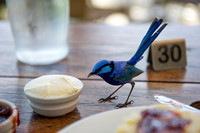 Blue Wren enjoying a Devonshire Tea @ The Berry Farm Margaret River